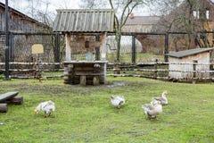 Гусыни на зеленой лужайке Стоковое Фото