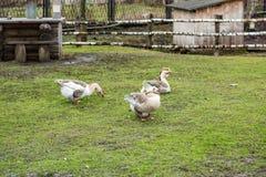 Гусыни на зеленой лужайке Стоковые Фотографии RF