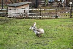 Гусыни на зеленой лужайке Стоковая Фотография