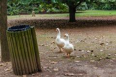 2 гусыни на их пути к мусорному баку Стоковая Фотография RF