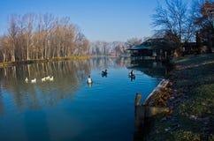 Гусыни на небольшом озере на солнечном утре около Белграда Стоковое Изображение