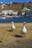 2 гусыни на области портового района перед здание муниципалитетом Mykonos, Греции Стоковые Изображения RF