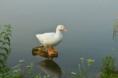 Гусыни на озере в необыкновенном представлении Стоковое фото RF