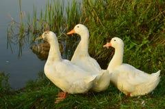 Гусыни на озере в необыкновенном представлении Стоковые Фото