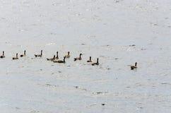 Гусыни на озере Йеллоустон Стоковая Фотография RF