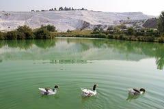 Гусыни на озере, обызвествлянные террасы известняка на предпосылке Pamukkale, Турция Стоковые Фото