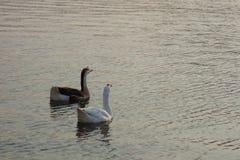 2 гусыни на озере Раджастхане Pushkar Стоковые Изображения