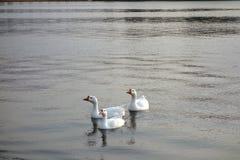 3 гусыни на озере Раджастхане Pushkar Стоковые Изображения