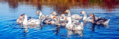 Гусыни на озере Стоковая Фотография