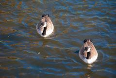 Гусыни на озере Стоковые Фото