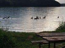 Гусыни на озере Стоковая Фотография RF