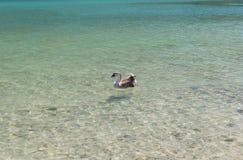 Гусыни на озере Kournas на острове Крите, Греции Стоковое фото RF