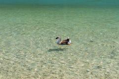 Гусыни на озере Kournas на острове Крите, Греции Стоковое Фото