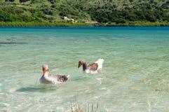 Гусыни на озере Kournas на острове Крите, Греции Стоковые Изображения RF