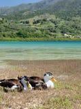 Гусыни на озере Kournas на острове Крите, Греции Стоковые Изображения