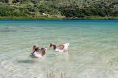 Гусыни на озере Kournas на острове Крите, Греции Стоковое Изображение RF