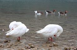 Гусыни на озере Kournas на острове Крите Стоковое Изображение