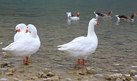 Гусыни на озере Kournas на острове Крите Стоковые Фотографии RF
