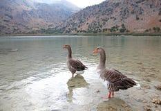 Гусыни на озере Kournas на острове Крите Стоковые Изображения