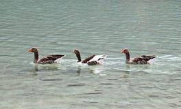 Гусыни на озере Kournas на острове Крите Стоковая Фотография RF