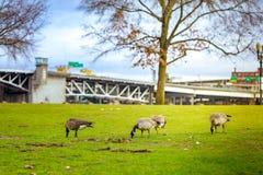 Гусыни на парке портового района Тома McCall Стоковая Фотография RF