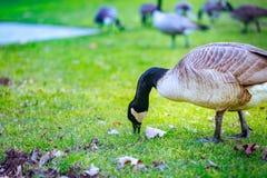 Гусыни на парке портового района Тома McCall Стоковые Фотографии RF