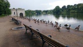 Гусыни на парке рова Стоковая Фотография RF