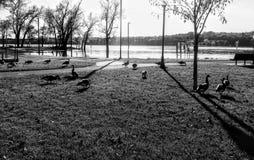 Гусыни на парке Стоковая Фотография