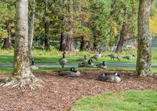 Гусыни на парке 2 Coulon Стоковые Изображения
