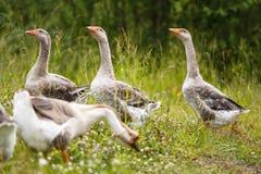 Гусыни на поле Стоковая Фотография