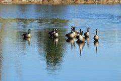 Гусыни на пруде Стоковая Фотография