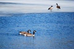 Гусыни на пруде зимы Стоковое Изображение RF