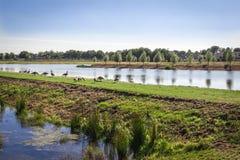 Гусыни на пруде Стоковая Фотография RF