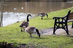 Гусыни на пути ноги в парке сбоку реки Стоковая Фотография