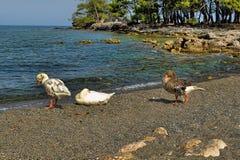 Гусыни на пляже Стоковое Фото