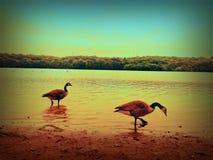Гусыни на пляже Стоковое Изображение