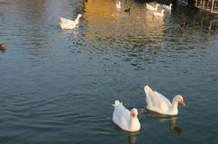 Гусыни на реке в зиме Стоковое фото RF