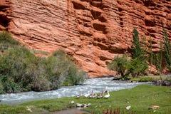 Гусыни на реке и странных горных породах Стоковое Изображение