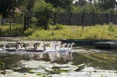 Гусыни на реке Стоковые Фото