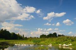 Гусыни на реке Стоковые Изображения RF