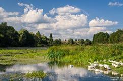 Гусыни на реке Стоковые Изображения