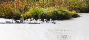 Гусыни на реке Стоковое Фото