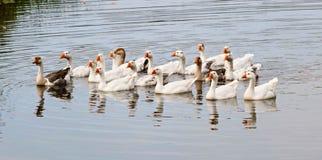 Гусыни на реке Стоковая Фотография