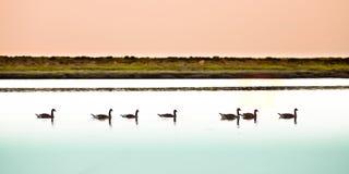 Гусыни на реке Стоковое Изображение RF