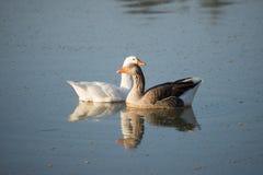 2 гусыни на реке Стоковое фото RF