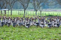 Гусыни на ферме фуа-гра Стоковые Изображения