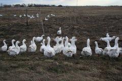 Гусыни на ферме Стоковые Фотографии RF