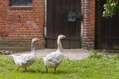 Гусыни на ферме Стоковая Фотография RF
