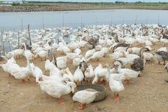 Гусыни на ферме Стоковое фото RF