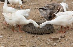 Гусыни на ферме Стоковая Фотография